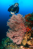 SCUBA diver on a tropical coral reef. SCUBA diver swimming next to delicate, colorful soft and hard corals on a tropical reef Stock Photography