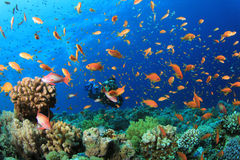 Scuba Diver and Tropical Fish Royalty Free Stock Photo
