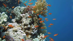 Scuba Diver, Tropical Fish and Coral Reef. On Red Sea stock video footage