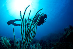 Scuba diver on a tropical reef. A lady scuba dives on a tropical reef on Roatan island Stock Images