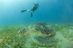 Scuba diver and turtle Stock Photography