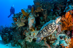 SCUBA Diver and Turtle. Female SCUBA diver and Turtle on a coral reef royalty free stock images