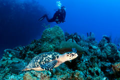 SCUBA Diver and Turtle Royalty Free Stock Image