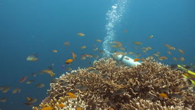 Scuba diver underwater. Scuba diver explores underwater coral reef and watching the fish.Scuba diver underwater in a tropical sea.Tropical fish on a coral reef stock footage