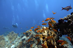 Scuba-Diver underwater in tropical coral-reef Royalty Free Stock Photos