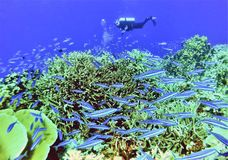 Scuba Diver w/ Juvenile Rainbow Runners. A scuba diver surveys a healthy coral reef as schooling juvenile rainbow runners feed among staghorn coral in Majuro Stock Images