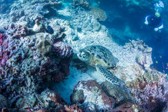 Scuba diver watching sea turtle Royalty Free Stock Images