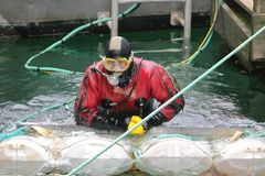 Scuba Diver at Work. A scuba diver is hired to check and replace flotation tubes used to keep houseboats upright in a marina in Granville Island, Vancouver, BC royalty free stock images