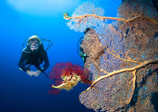 Diver and coral. Scuba divers by coral reef, Red sea Stock Image