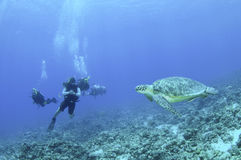Scuba divers on coral reef with sea turtle royalty free stock image