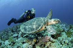 Scuba divers on coral reef with Turtle Stock Photo