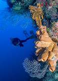 SCUBA divers on a deep coral reef. SCUBA divers on a vertical coral wall in a tropical ocean Royalty Free Stock Photo