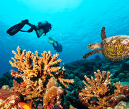 Scuba divers explore a coral reef. Scuba divers with turtle explore beautiful coral reef. Underwater photography in Indian ocean, Maldives Stock Images