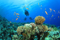 Scuba Divers and Fish Stock Images