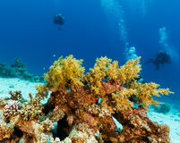 SCUBA divers next to soft coral. SCUBA divers swimming next to a soft coral on a tropical coral reef Royalty Free Stock Photo