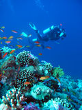 Scuba divers by reef stock images