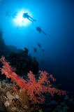 Scuba divers and soft red coral Stock Photography