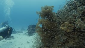 Scuba divers swimming on the side of coral reefs. A slow motion underwater shot of scuba divers swimming near coral reefs. Small fishes are seen on the shot stock footage