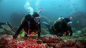 Scuba divers underwater on background of school fish in Galapagos. Unique beautiful video. Abyssal relax diving in world of wildlife. Natural aquarium of sea stock footage