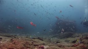 Scuba divers underwater on background of school fish in Galapagos. Unique unusual video footage. Abyssal relax diving. Natural aquarium of sea and ocean stock video