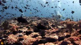 Scuba divers underwater on background of school fish in Maldives. World of colorful beautiful wildlife of reefs and algae. Relax and privacy. Abyssal diving stock video footage