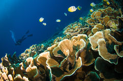 Scuba diving above coral below boat bunaken sulawesi indonesia underwater Stock Photography
