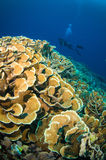 Scuba diving above coral below boat bunaken sulawesi indonesia underwater Royalty Free Stock Photo