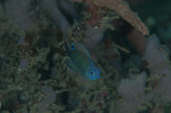 Scuba diving blue fish lembeh strait indonesia Stock Images