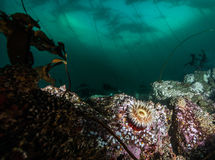 Scuba diving in British Columbia Royalty Free Stock Photo