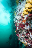 Scuba diving in British Columbia Royalty Free Stock Images