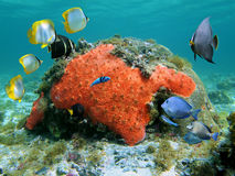 Scuba diving in the Caribbean sea. Sealife in the Caribbean sea with colorful tropical fish, red sponge and coral in shallow water Stock Image