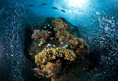 Scuba diving, coral reef, fish, marine life. Colourful coral reef in the red sea in egypt, Dendronephthya Royalty Free Stock Photo
