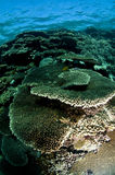 Scuba diving, coral reef, fish, marine life Stock Photography