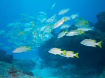 Scuba diving on the coral reefs in Mexico Stock Images