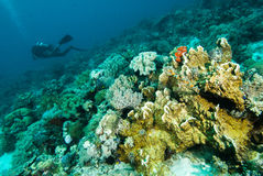 Scuba diving diver kapoposang sulawesi indonesia underwater Stock Photography