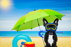 Scuba diving dog. Snorkeling scuba diving french bulldog dog with mask and fins and umbrella,at the beach, ocean shore and sun as background royalty free stock image