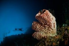 Scuba diving giant sponge bunaken sulawesi indonesia underwater Royalty Free Stock Image