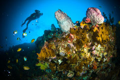 Scuba diving giant sponge bunaken sulawesi indonesia underwater Stock Images