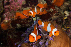 Scuba diving lembeh  Indonesia Anemonefish underwater Royalty Free Stock Photos