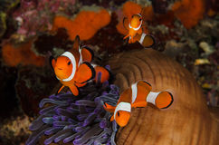 Scuba diving lembeh  Indonesia Anemonefish underwater Stock Photography