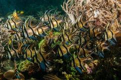 Scuba diving lembeh indonesia banggai cardinalfish underwater Stock Images