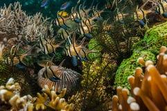 Scuba diving lembeh indonesia banggai cardinalfish underwater Stock Photos