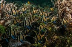 Scuba diving lembeh indonesia banggai cardinalfish underwater Stock Image