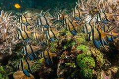 Scuba diving lembeh indonesia banggai cardinalfish underwater Royalty Free Stock Images