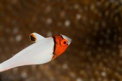 Scuba diving lembeh indonesia bicolor parrotfish Stock Photos