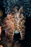 Scuba diving lembeh indonesia broadclub cuttlefish close up Royalty Free Stock Image
