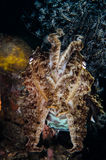 Scuba diving lembeh indonesia broadclub cuttlefish close up Royalty Free Stock Images