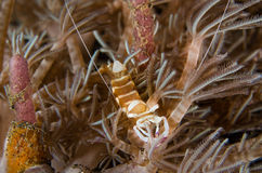 Scuba diving lembeh indonesia colorful shrimp Stock Photo