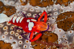 Scuba diving lembeh indonesia colorful shrimp Royalty Free Stock Image