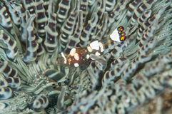 Scuba diving lembeh indonesia colorful shrimp Royalty Free Stock Photos